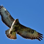 Picture of a Buzzard in flight