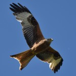 A Red Kite, an unexpected feathered visitor