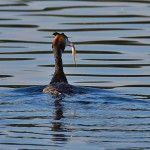 Picture of a Great Crested Grebe with a fish seen from the back