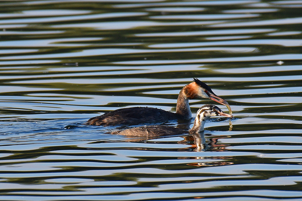 Picture of a Great Crested Grebe holding a fish with a juvenile Grebe next to it