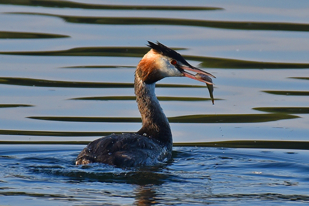 Picture of a Great Crested Grebe with a fish in its beak