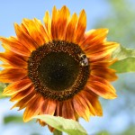 Picture of an orange sunflower with a feeding bee
