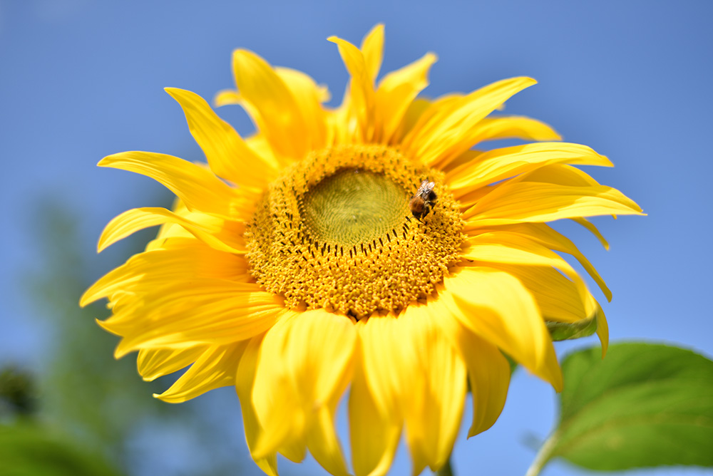 Picture of a sunflower with a feeding bee