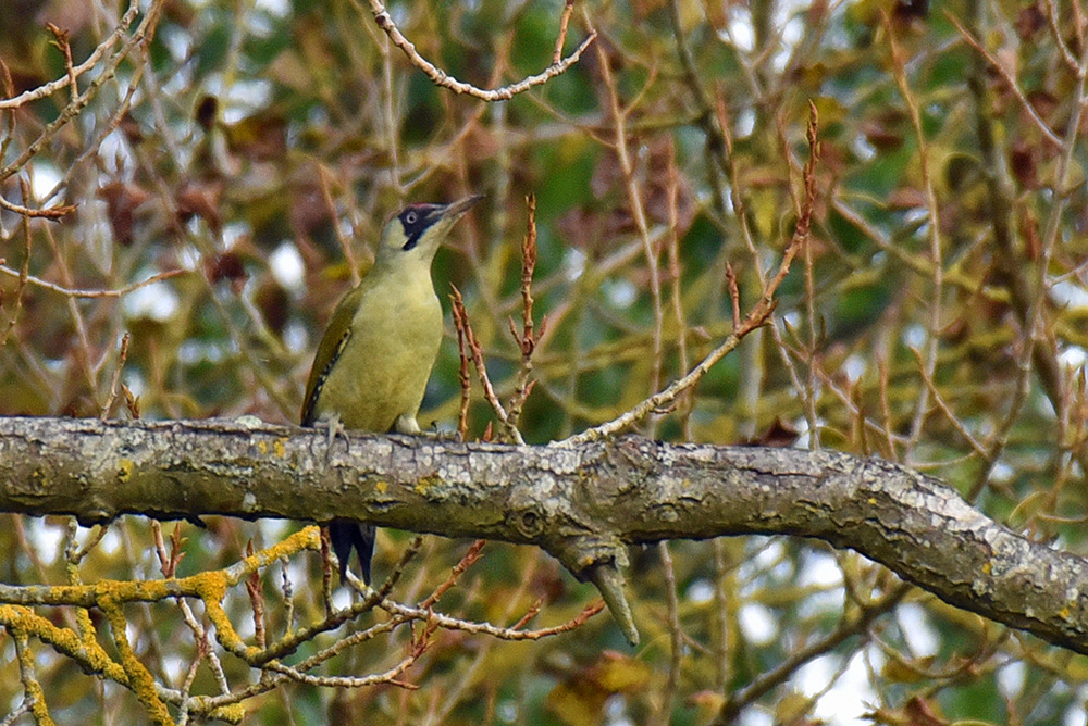 Picture of a Green Woodpecker