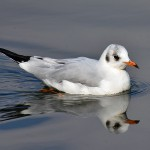 Picture of a juvenile Black-Headed Gull