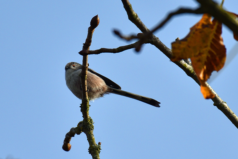 Picture of a Long Tailed Tit