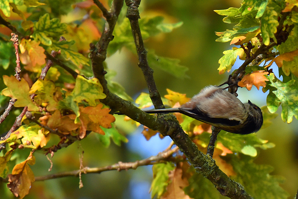 Picture of a Long Tailed Tit in a tree in autumn colours