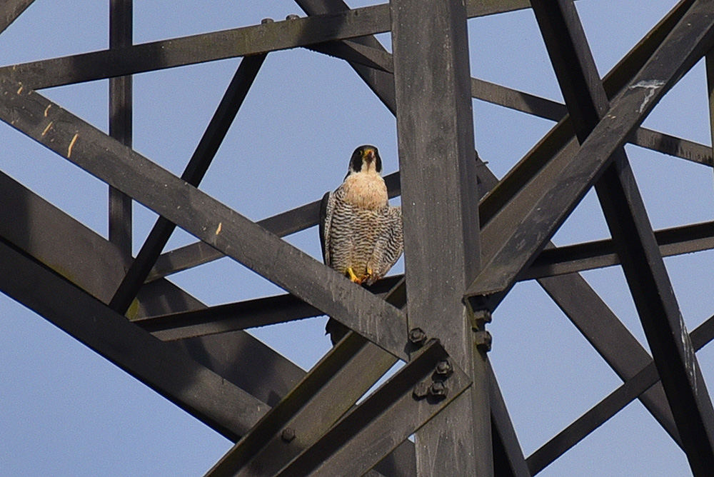 Picture of a Peregrine Falcon sitting on a pylon