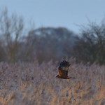 Picture of a Marsh Harrier flying over reedbeds
