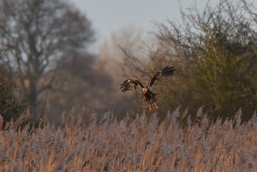 Picture of a Marsh Harrier hovering over a reedbed