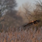 Picture of a Marsh Harrier hovering over reedbeds