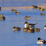 Picture of a Pintail with mainly Teal ducks around it
