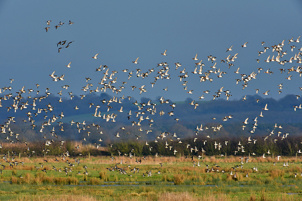 Picture of a large number of Wigeon ducks in flight over a wetland