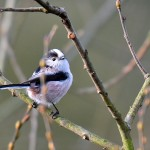 Picture of a Long-tailed Tit