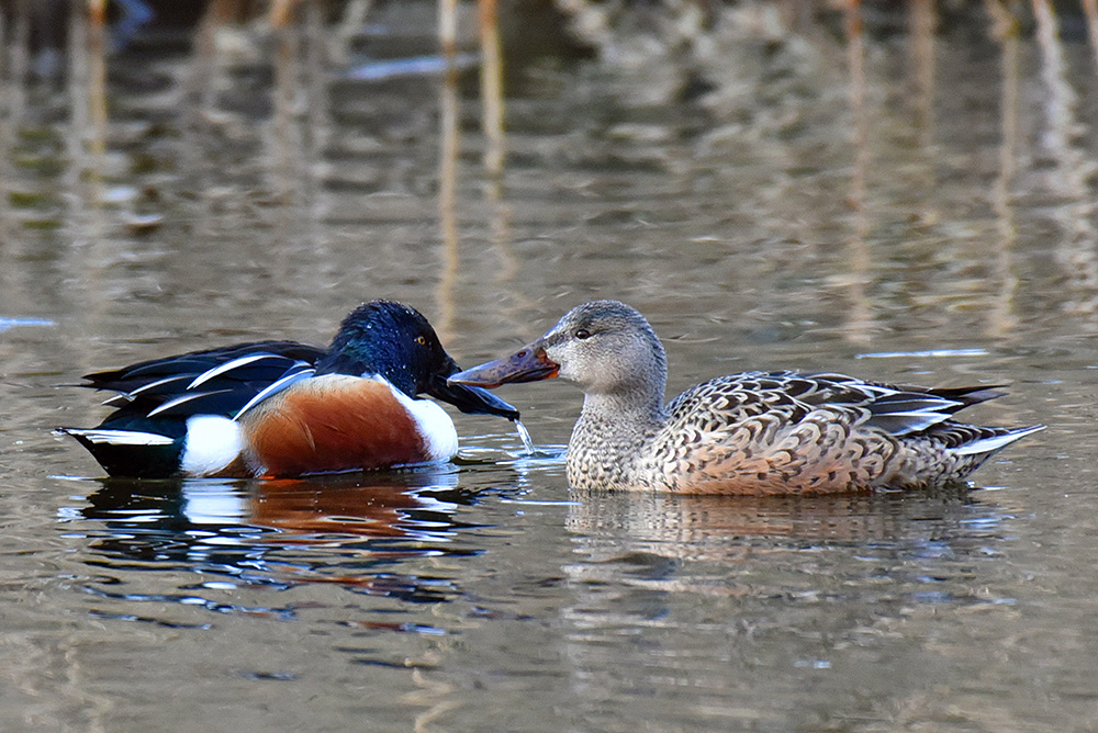Picture of male and female shovelers