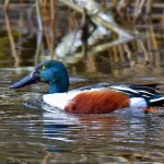 Picture of a male Shoveler
