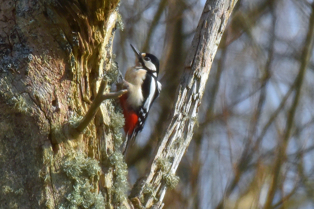 Picture of a Great Spotted Woodpecker on a dead tree