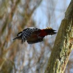Picture of a Great Spotted Woodpecker flying off