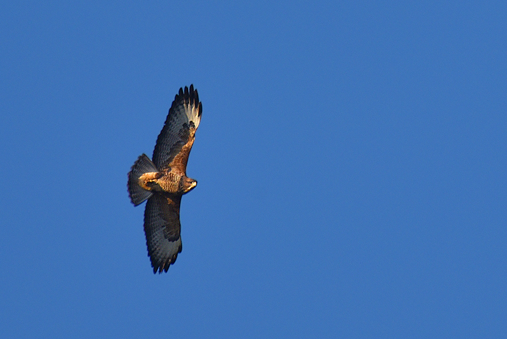 Picture of a Buzzard in flight, head turned