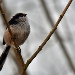 Picture of a Long-tailed Tit in a tree in the mild evening light