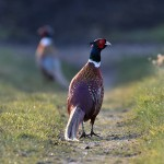 Picture of a Pheasant on a path in the mild afternoon sun