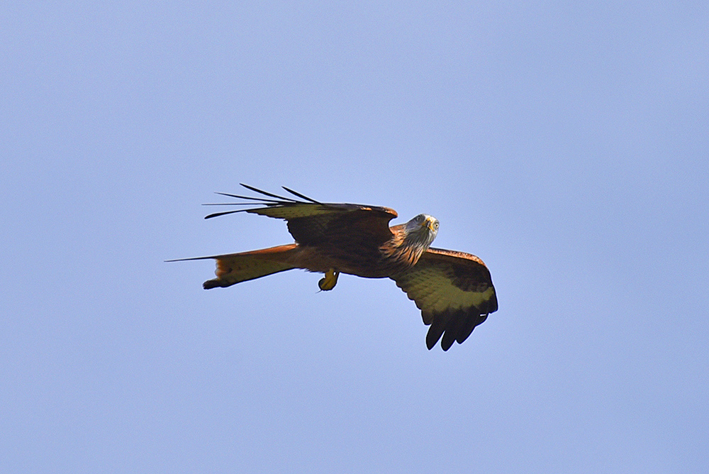 Picture of a Red Kite with a mouse