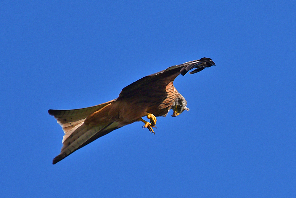 Picture of a Red Kite looking down at its talons