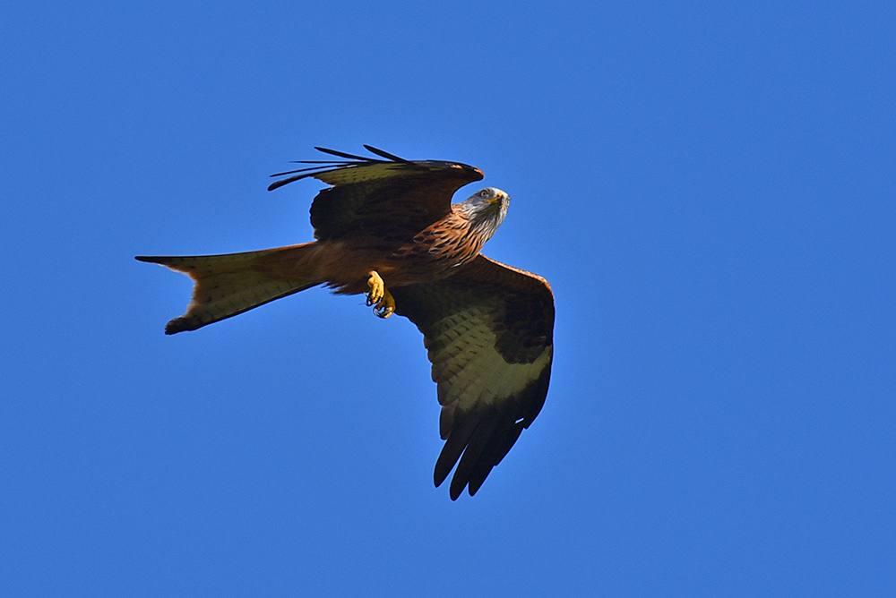Picture of a Red Kite looking alarmed