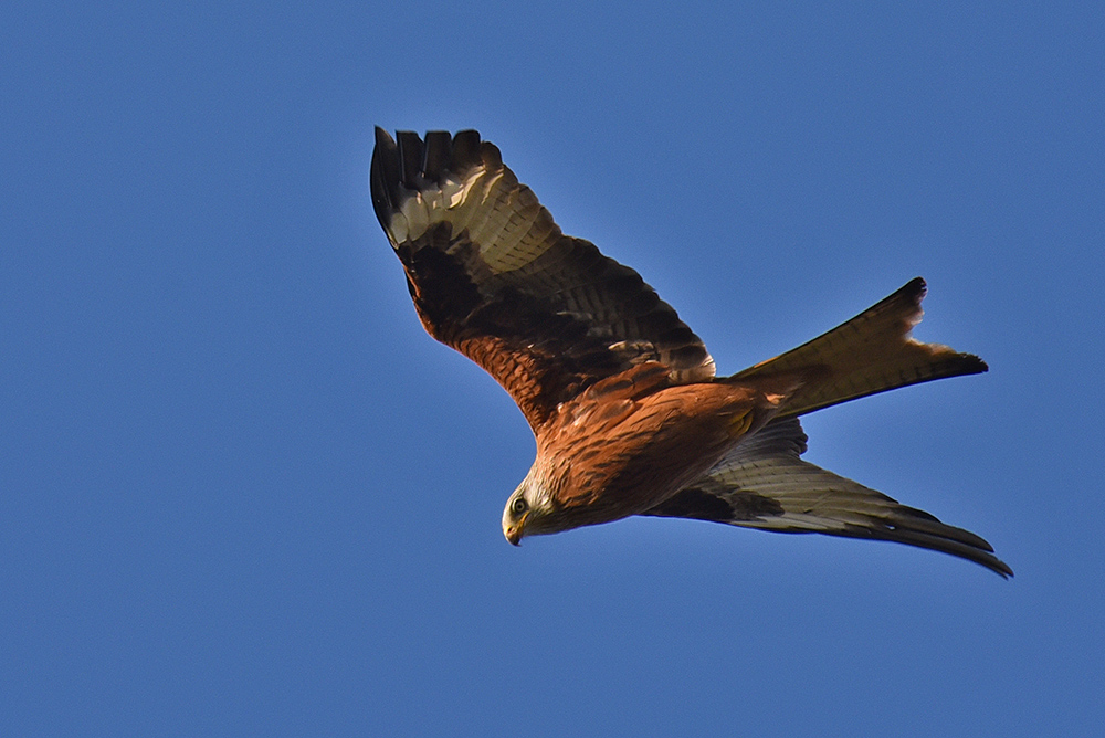 Picture of a Red Kite in the afternoon sun