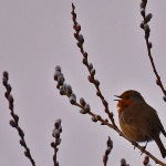 Picture of a Robin singing in the evening light