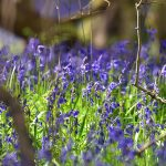 Picture of Bluebells on a woodland floor