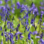 Picture of Bluebells