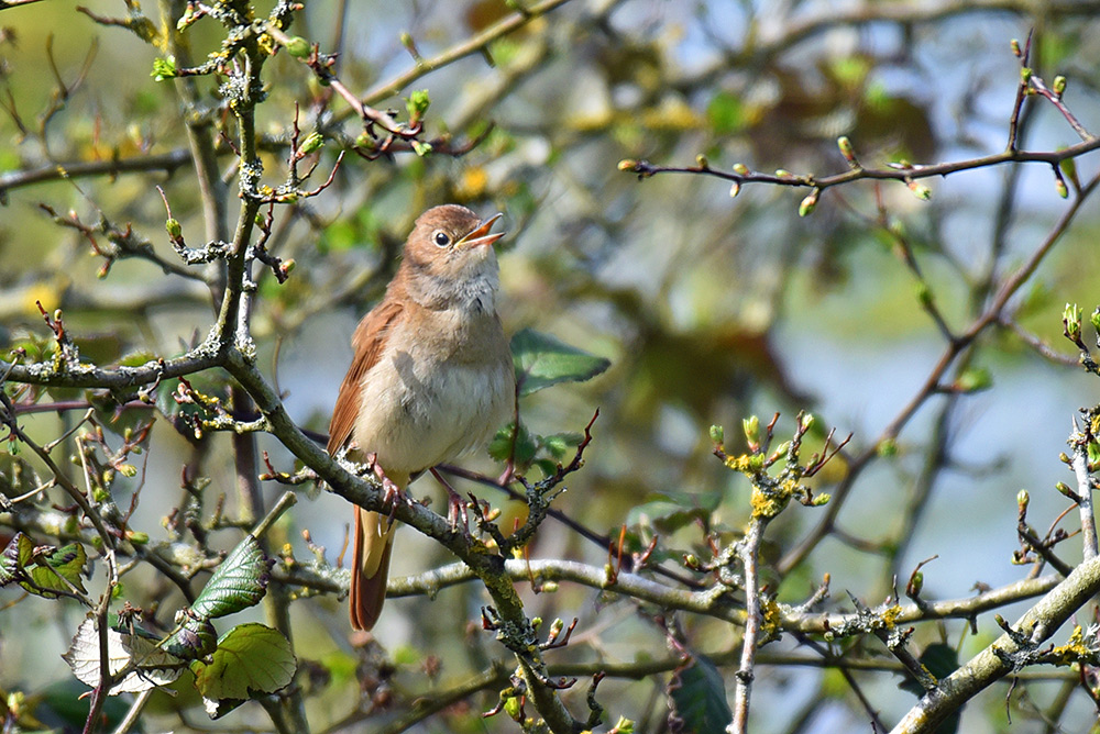 Picture of a Garden Warbler singing