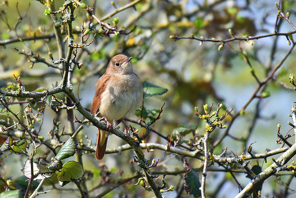 Picture of a Garden Warbler
