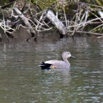 Picture of a male Gadwall duck