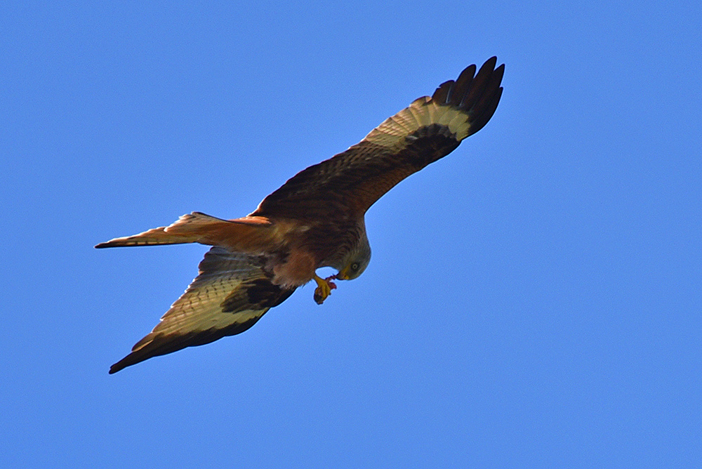 Picture of a Red Kite eating its catch in flight