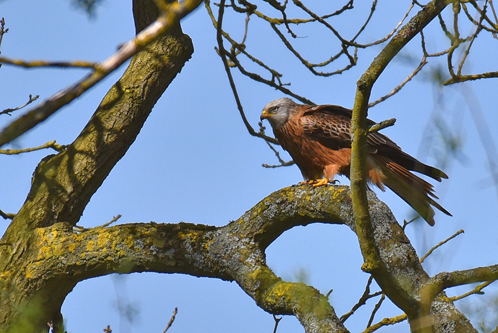 Picture of a Red Kite resting on a large branch in a tree