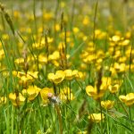 Picture of Buttercups in a meadow