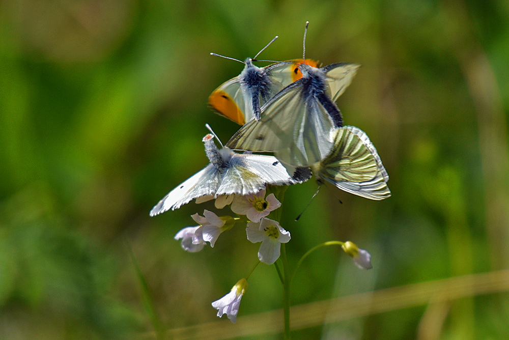 Picture of four butterflies/moths in some kind of mating ritual