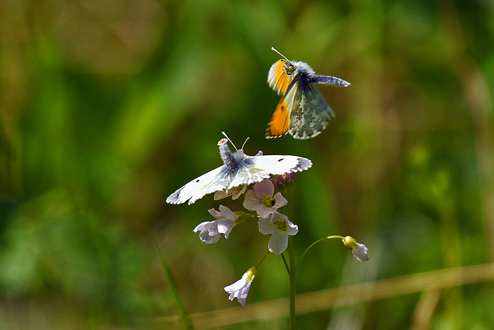 Picture of 2 Butterflies/Moths mating