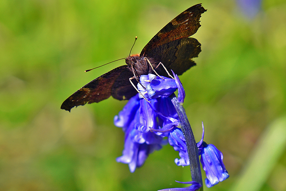 Picture of a butterfly/moth on a Bluebell