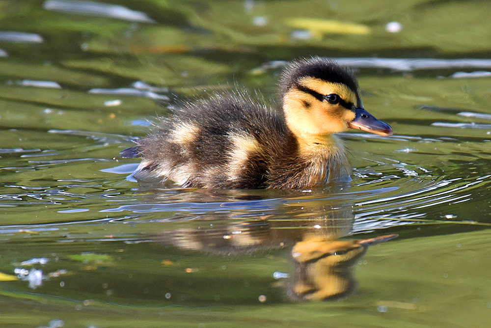 Picture of a duckling