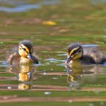 Picture of two ducklings
