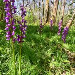 Picture of what I believe to be an Early Purple Orchid