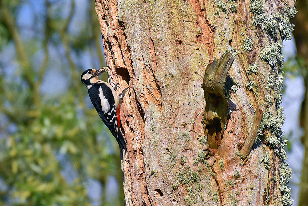 Picture of a female Woodpecker at a nest