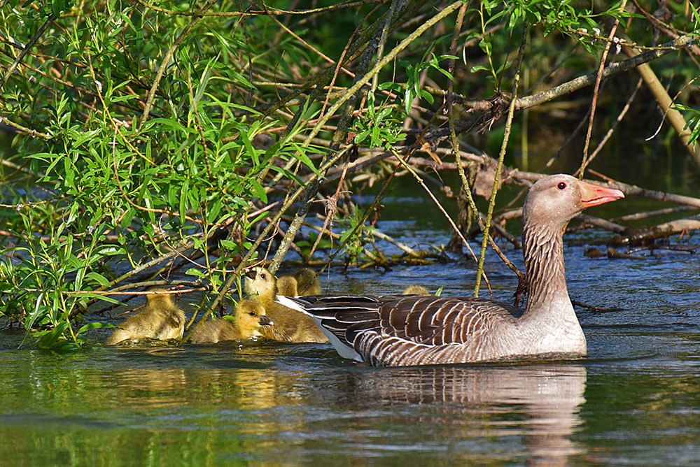 Picture of a Goose with some Goslings eating leaves from a tree