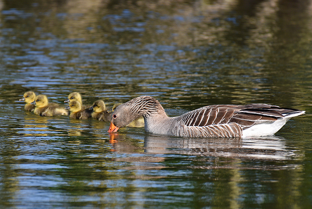 Picture of a feeding Goose with some Goslings