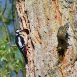 Picture of a male Woodpecker at a nest