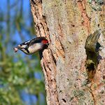 Picture of a male Woodpecker climbing out of a nest