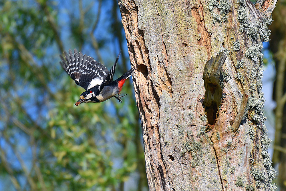 Picture of a male Woodpecker flying off from a nest